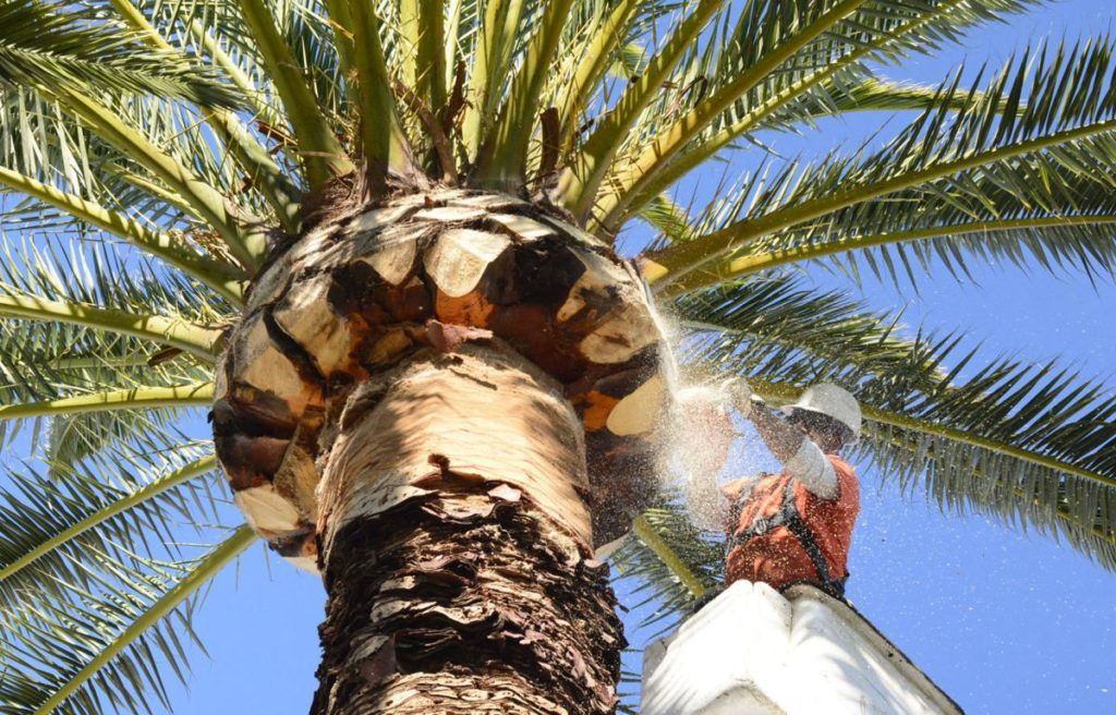 Palm Tree Trimming-Lantana Tree Trimming and Tree Removal Services-We Offer Tree Trimming Services, Tree Removal, Tree Pruning, Tree Cutting, Residential and Commercial Tree Trimming Services, Storm Damage, Emergency Tree Removal, Land Clearing, Tree Companies, Tree Care Service, Stump Grinding, and we're the Best Tree Trimming Company Near You Guaranteed!