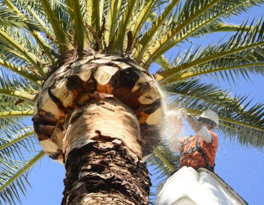 Palm Tree Trimming & Palm Tree Removal-Lantana Tree Trimming and Tree Removal Services-We Offer Tree Trimming Services, Tree Removal, Tree Pruning, Tree Cutting, Residential and Commercial Tree Trimming Services, Storm Damage, Emergency Tree Removal, Land Clearing, Tree Companies, Tree Care Service, Stump Grinding, and we're the Best Tree Trimming Company Near You Guaranteed!